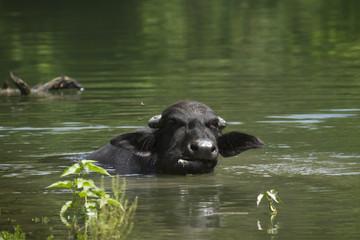 Domestic buffalo taking bath in Nepal