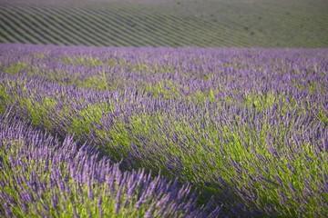 Lavender background - Valensole, Provence, France