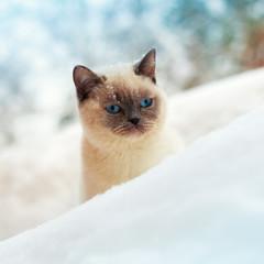 Cute Siamese cat walking in snow
