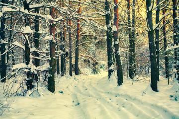 Pine winter forest