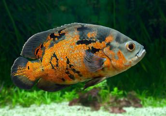 Bright Oscar Fish underwater