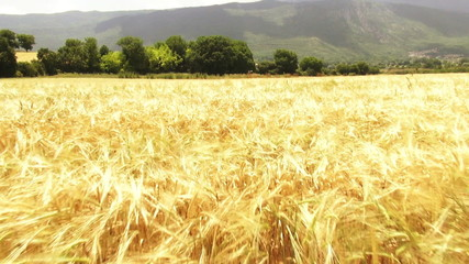 Aerial shot of rich golden yellow cornfield