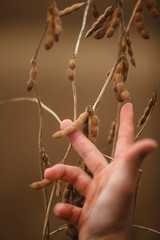Hand showing ready soybean plant to harvest.