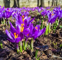 crocuses, springtime