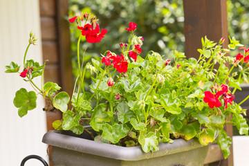 pélargonium dans jardinière de balcon