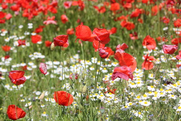 Red Poppy and chamomilla field