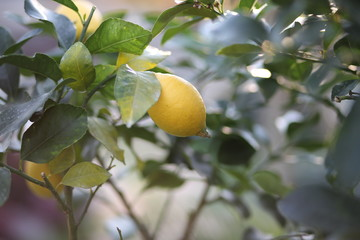 lemon hanging on the tree in the orchard