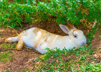 beautiful white - yellow rabit sitting alone under the shade