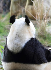 Back of a Giant Panda