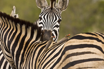 tender moment for two wild zebras, Kruger, ZA