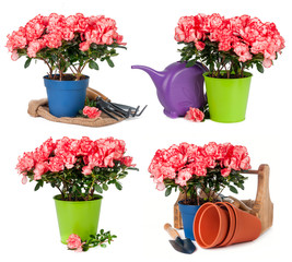 Tulips in pots isolated
