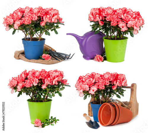 Tuinposter Azalea Tulips in pots isolated