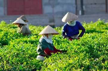 Farmers cut tea from tea hills in Moc Chau, Son La, Vietnam
