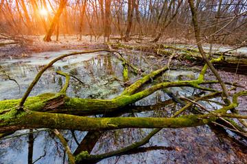 old tree on bog
