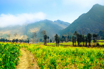 Field of rapeseed flower in Ha Giang, Vietnam