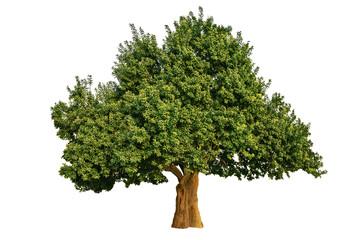 Big Tree Isolated