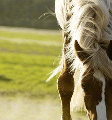 Close up shot of horse withers and mane