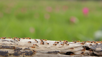 Several carpenter subterranean termites on wood