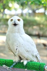 Snowy owl (Bubo scandiacus), bird of prey