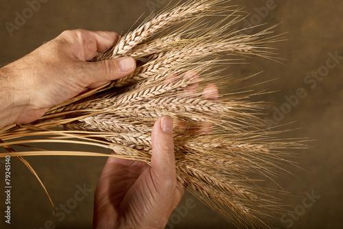 Sheaf Of Barley - 79245140