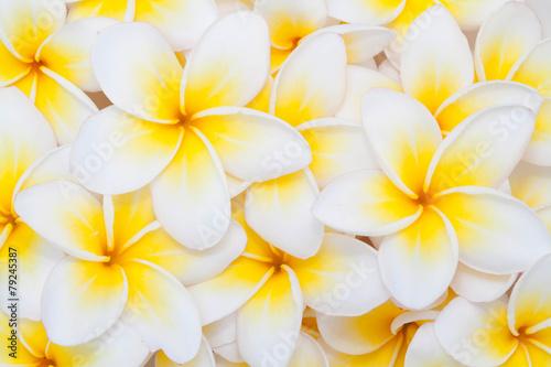 Poster Frangipani Plumeria flower background