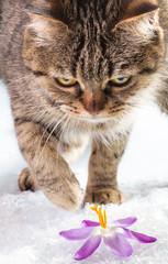 European cat in the snow with crocus.
