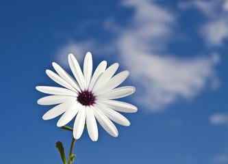 margarita blanca en el cielo azul