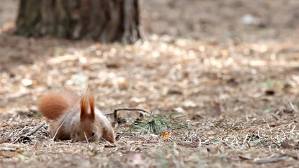 Red squirrel eating seeds in a pine forest