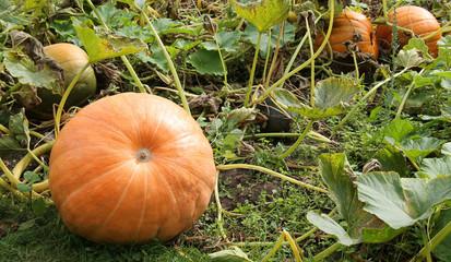 Orange Pumpkins Growing in a Vegetable Garden.