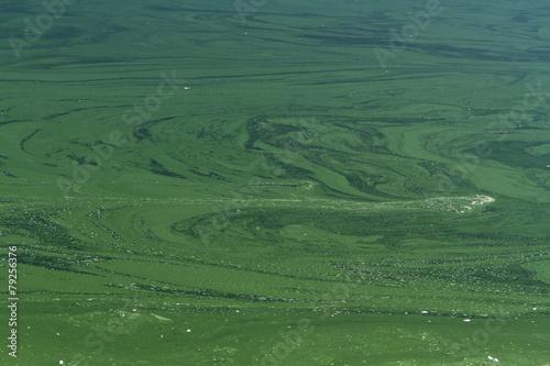 Deurstickers Water planten blue-green algae or Cyanophyta