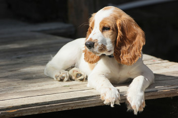 red and white puppy of spaniel relax on the porch in sunny day