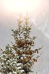 Pine tree with many pine cones