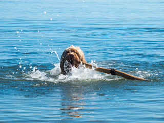 Cute Puppy with Big Stick Swimming in Lake