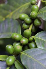 Grão de café verde no cafeeiro