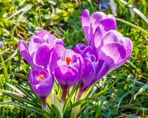 Wild crocus flowers