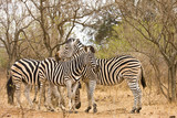 three zebras in the bush, kruger, South Africa