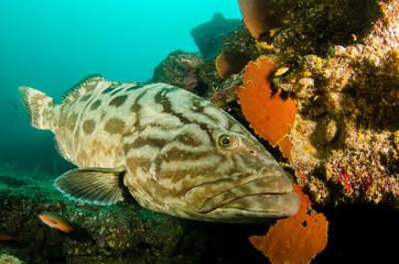 grouper, sea of cortez