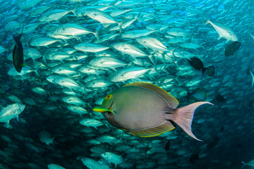 surgeonfish,sea of cortez