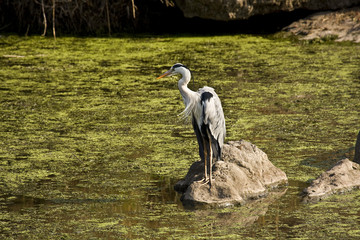 African grey heron on a stone, Kruger, South Africa