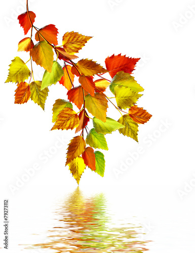 Naklejka autumn leaves of birch isolated on white background