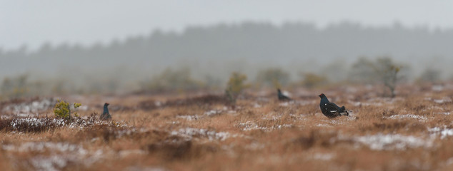Black grouse game in the bog