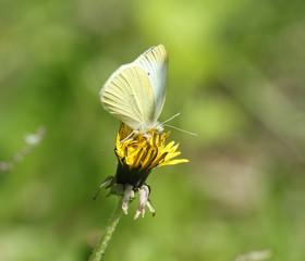 butterfly summer flower wings