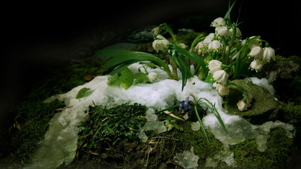Melt snow with snowdrops flower, time lapse,4k