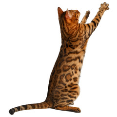 bengal cat stand and raising up paw