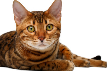 bengal cat lies on white and looking in camera
