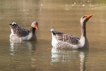 A pair of geese swimming in a pond