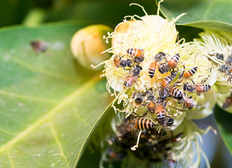 bees collecting nectar from rose apple flower.