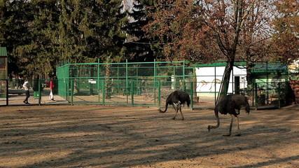 ostriches walking