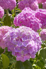 Blooming pink Hortensia on sunny day