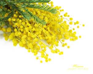 Mimosa flowers branch isolated on white
